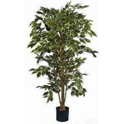 Ficus variegata nitida (PA112)