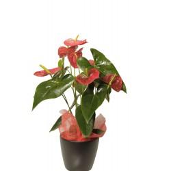 Planta de Anthurium (F163)