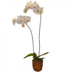 Planta de orquídea (F164)
