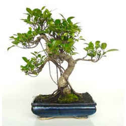 Bonsái ficus Retusa (F145)
