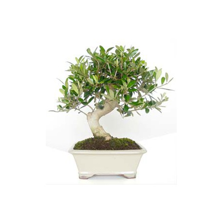 Bonsái olivo (F108)
