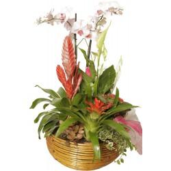 Cesta de Plantas con Orquídea (F109)